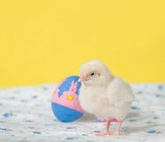 Newly hatched Easter chick Royalty Free Stock Images