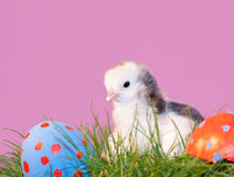 Newly hatched Easter chick Royalty Free Stock Photography