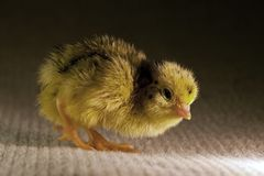 Newly hatched a few hours quail, Coturnix japonica. Breed by hoby growers in Sweden. The Japanese quail, Coturnix japonica, is a species of Old World quail royalty free stock photos