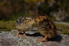 Newly hatched a few hours quail, Coturnix japonica.....photographed in nature. Breed by hoby growers in Sweden. The Japanese quail, Coturnix japonica, is a royalty free stock photo