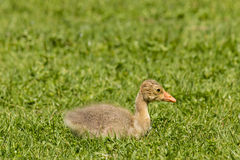 Newly hatched gosling Stock Photo