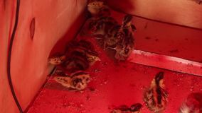 Newly hatched  group quail, but with eggs stock video footage