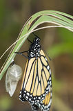 Newly hatched monarch. A newly hatched monarch next to it cocoon royalty free stock photos