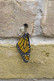 Newly hatched monarch. A newly hatched Monarch butterfly on a brick wall royalty free stock image