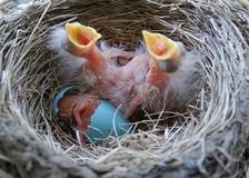 Newly hatched robin chicks Stock Photography