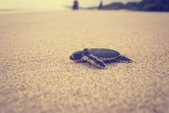 A newly hatched sea turtle journey royalty free stock photos