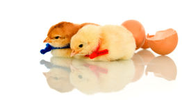 Newly hatched spring chicken Royalty Free Stock Image