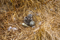 Newly Hatched Western Gull Royalty Free Stock Photos