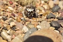 Newly hatching Killdeer chick emerging from it`s egg. Hatching Killdeer chick emerging from it`s egg. slowly pushing its way out of it`s protective shell. Head Royalty Free Stock Photography