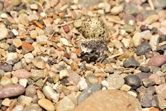 Newly hatching Killdeer chick emerging from it`s egg. Hatching Killdeer chick emerging from it`s egg. Starting to crawl around on pebbles and getting ready to Stock Image