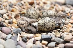 Newly hatching Killdeer chick waiting for his sibling to hatch. Newly hatched Killdeer chick sitting in a rock nest waiting for it`s sibling to hatch stock images
