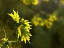 newly maple leaves in spring Stock Photo