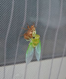 Newly molted cicada on screen Royalty Free Stock Photos