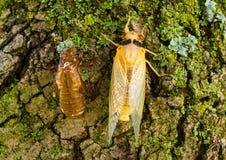 Newly molted cicada Royalty Free Stock Photos