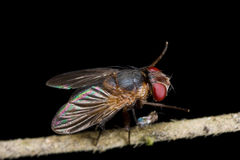 A newly molted fly stretching Stock Image
