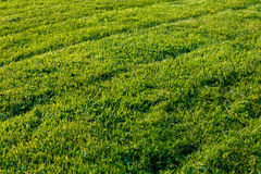 Newly mowed grass lawn with tire diagonals Royalty Free Stock Photo