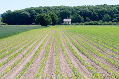 Newly planted agricultural crops in a field. In early spring with rows of young green plants receding from the camera Stock Images