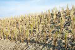 Newly planted beach grass Stock Photography
