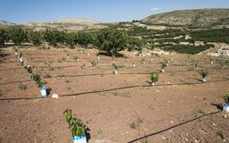Newly planted cherry trees. In field royalty free stock image