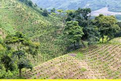 Young Coffee plants. Newly planted coffee trees dot the hillside of a coffee plantation near Chinchina in the Colombian state of Caldas stock images