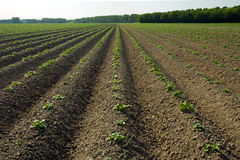 Newly planted crop Royalty Free Stock Photos