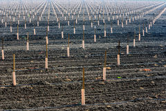 Newly planted crop in rows and field Stock Photos