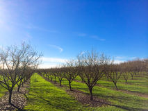 Newly Planted Filbert Orchard Royalty Free Stock Photography