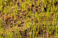 Newly planted grass seeds start to grow Stock Photography