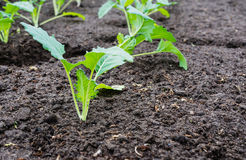 Newly planted kohlrabi plants up close Royalty Free Stock Photography