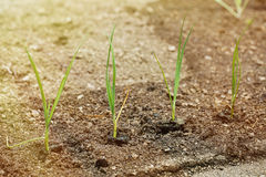 Newly planted leek seedlings in freshly ploughed garden Royalty Free Stock Images