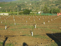 Newly planted lemon grove. In Andalusia, Spain royalty free stock images