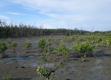 Newly planted mangrove trees Royalty Free Stock Images