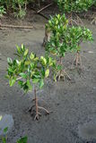 Newly planted mangrove trees Stock Image