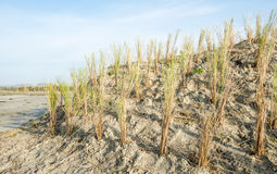 Newly planted marram grass Royalty Free Stock Image
