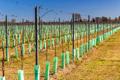 Newly planted orchards organized into rows Stock Photography
