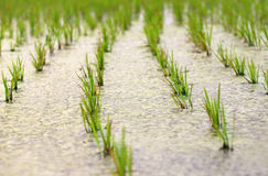 Newly planted paddy seedling Royalty Free Stock Photography