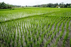 Newly planted rice fields Royalty Free Stock Images