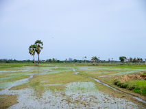 Newly planted rice paddy Stock Photos