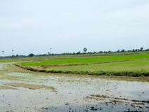 Newly planted rice paddy Royalty Free Stock Photo