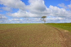 Newly planted springtime pea field. A newly planted springtime pea field on the yorkshire wolds england with a lone ash tree and farm track under a blue cloudy Royalty Free Stock Photos