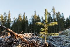 Newly planted spruce seedling. On a frozen ground Stock Photos