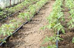 Newly planted tomato shoots in greenhouse Royalty Free Stock Image