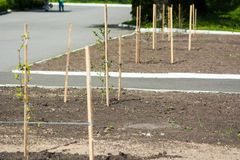 Newly planted trees along the road royalty free stock photography