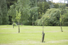 Newly planted trees Royalty Free Stock Images