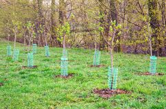 Newly planted trees. royalty free stock image