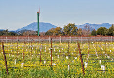 Newly Planted Vines, Napa Valley California Royalty Free Stock Photography