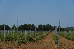 Newly Planted Vineyard Stock Photo