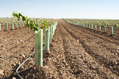 Newly planted vineyards. In a row. Blue sky royalty free stock photos