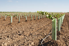 Newly planted vineyards royalty free stock images