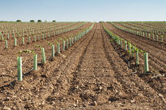 Newly planted vineyards Stock Image